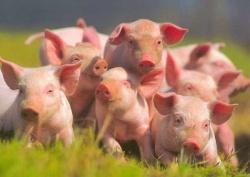 Рост объема свиней на убой способствует снижению цен на свинину