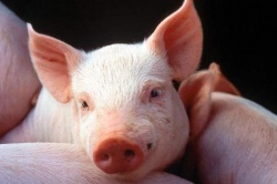 В Красноярском крае будут выращивать свиней