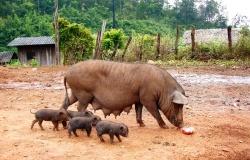 Отцовские линии для российского свиноводства
