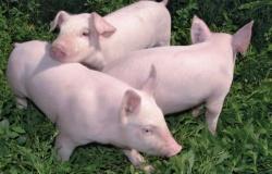 Ген Pyr-1 как маркер PSE-мяса у свиней