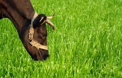 Производитель молока открыл необычную кормовую траву