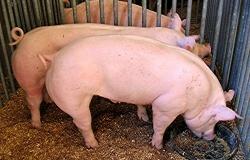 Ирландцы оценили влияние фосфора, кальция и фитазы на минеральный состав костей свиней