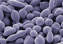 Птицеводство: дрожжи вместо антибиотиков?