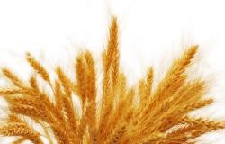 Государство продаст половину российских запасов зерна
