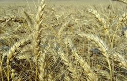 С сегодняшнего дня Россия вновь вернется на мировой рынок зерна
