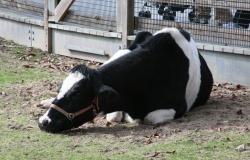 Электронные клипсы для контроля состояния здоровья коров