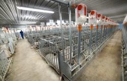 Начат процесс аттестации свиноводческих хозяйств