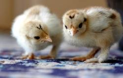 В Новгороде запущена крупнейшая птицефабрика БЭЗРК-Белгранкорм