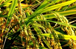Стероиды снижают эффективность кукурузы
