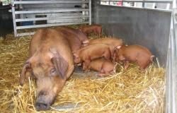 Африканская чума свиней: меры безопасности