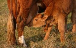 Иммуноглобулины в борьбе за кишечное здоровье теленка