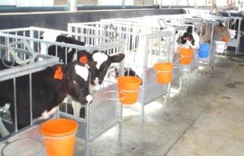 Знание темперамента коровы может повысить эффективность хозяйства