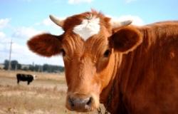 Новые случаи коровьего бешенства