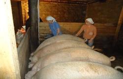 Приостановлена деятельность 7 свиноводческих ферм