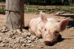 Управлением Россельхознадзора установлены нарушения ветеринарного законодательства в Воронежской области