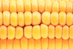 ГМ кукурузы стало на 5% больше