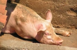Новая вспышка африканской чумы свиней на Кубани