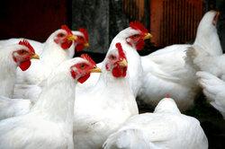Объем импорта мяса домашних кур сократился почти на 39%