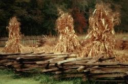 Кукурузный глютен – хорошая альтернатива дорогому зерну