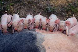 Что ждет российское свиноводство