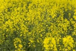 Новые технологии уничтожают токсины в растительных кормах