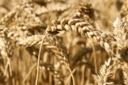 Китай и его влияние на мировой рынок пшеницы