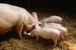 В Липецкой области открылась племенная ферма-репродуктор на 2 200 свиноматок