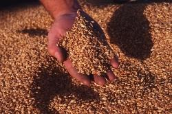 России грозит дефицит продовольственной пшеницы и ржи