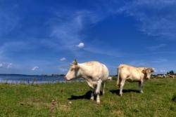 Успешная продажа мясного и молочного скота