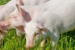 Профилактика микотоксикозов: применение кормовой добавки «Клинозан» в свиноводстве