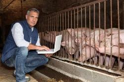 Анализ биохимических показателей крови у свиней