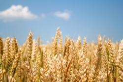 С начала проведения госинтервенций продано 1,01 млн т зерна