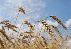 Министр сельского хозяйства России считает возможным обнулить импортную пошлину на зерно