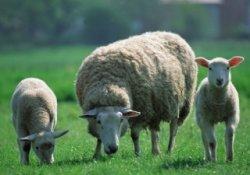 Башкортостан развивает овцеводство