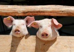 Липецкие свиноводы не могут свести концы с концами