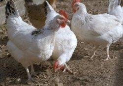 Птицеводы Великобритании требует разрешить использование ГМО в кормах