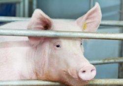 Свинокомплекс мощностью 124,5 тыс. свиней в год построят на Кубани