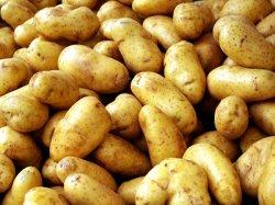 Россельхознадзор: ЕС продолжает отправлять в Россию зараженный картофель