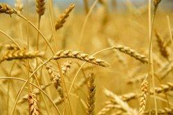 Российский экспорт зерна увеличивается на 18%