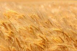 Ученые создали новую технологию хранения зерна