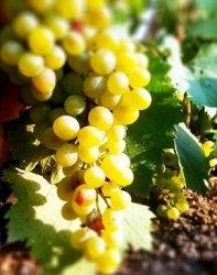 Вино из винограда, выращенного в России, стало сельскохозяйственным продуктом