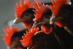 На Кипре на двух птицеводческих предприятиях у птиц выявлена болезнь Ньюкасла