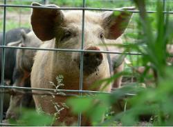 Литва из-за африканской чумы свиней в Белоруссии планирует создать буферную зону на своей территории