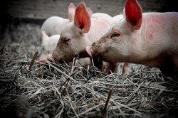 Российская академия сельхознаук начала работу над вакциной против африканской чумы свиней