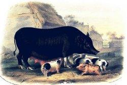 Обзор свиного сектора за неделю: В США и Европе сокращается количество свиноматок, содержащихся в загонах