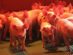 АЧС сократила поголовье свиней в Южном ФО на 28%