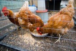 70% комбикормов для птиц производят сами птицеводы