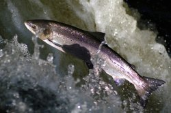 Россия теряет популяцию лосося