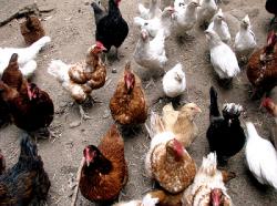 128 тысяч кур будут забиты в Италии из-за вспышки птичьего гриппа