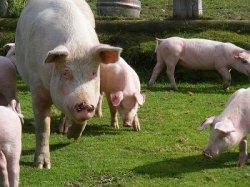 Роль питания в предотвращении хромоты свиноматок